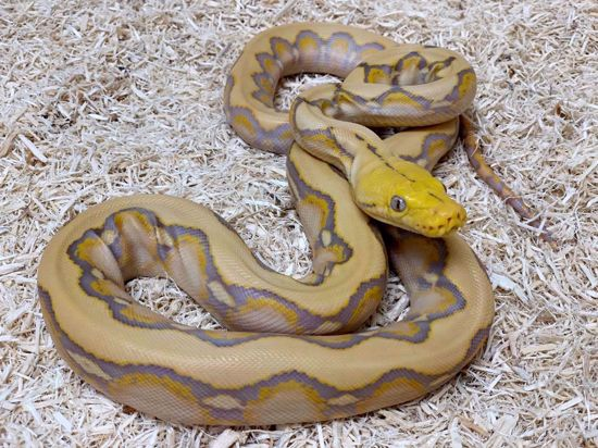 Picture of Dwarf Purple Albino Reticulated Python
